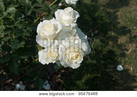 White Roses Closeup