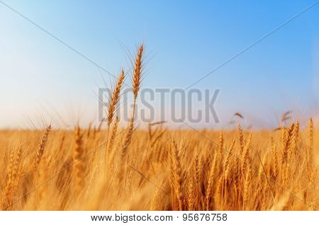 Wheat Ears And Clear Sky
