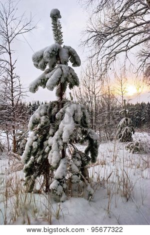 Small fur-tree in snow at the edge of wood in the winter on sunset