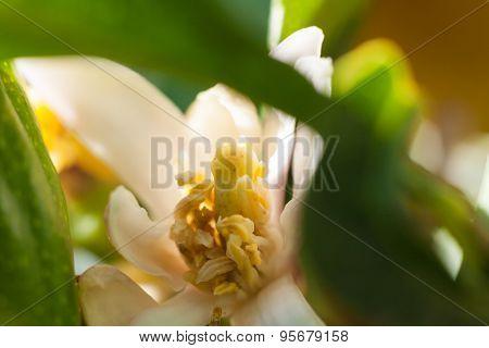 Hide Lemon Flower