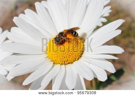 White decorative flower garden chamomile with a bee grows in a flowerbed, close-up