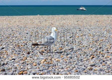 Seagulls On Pebble Beach