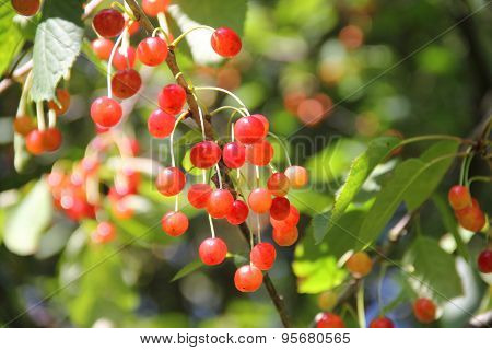 Wild Cherries On A Branch