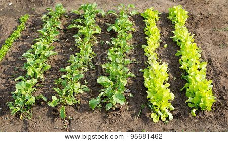 Lettuce patch with radish