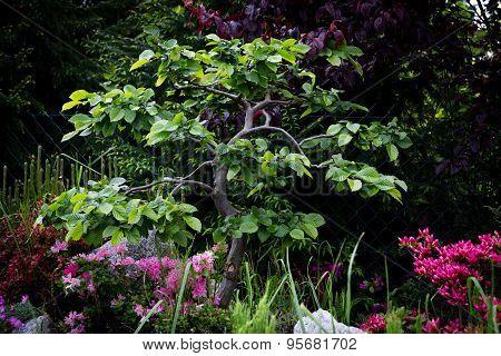 Hornbeam bonsai on rockery