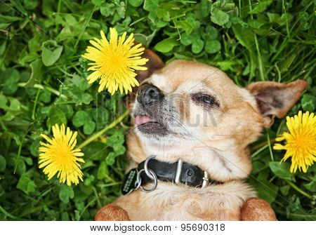 a cute chihuahua with his tongue out napping in the grass full of clover and dandelion weed flowers