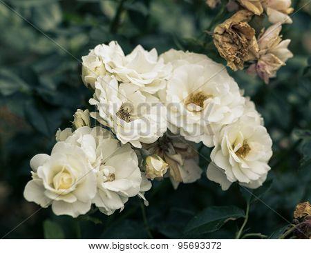 fresh white roses flower close up on green bush