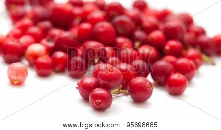 Freshly Picked Lingonberry