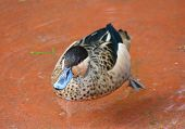 picture of duck  - Hottentot Teal Duck Anas hottentota Duck swimming in water - JPG