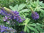 picture of lilas  - A colorful meadow of bright purple lupines - JPG