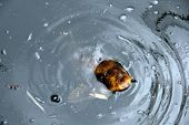 image of catfish  - A blurb image of a  yellow catfish with its mouth wide open awaiting food - JPG