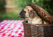 stock photo of licking  - a cute baby pug chihuahua mix puppy looking out of a wicker picnic basket and licking her face during summer maybe on the 4th of july holiday  - JPG