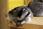 image of tame  - tamed raccoon in a cage in a city manual zoo - JPG