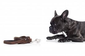 foto of bulldog  - french bulldog dog waiting and begging to go for a walk with owner sitting or lying on the ground leather leash on the floor - JPG