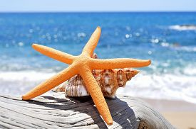 pic of conch  - closeup of a starfish and a conch on an old washed - JPG