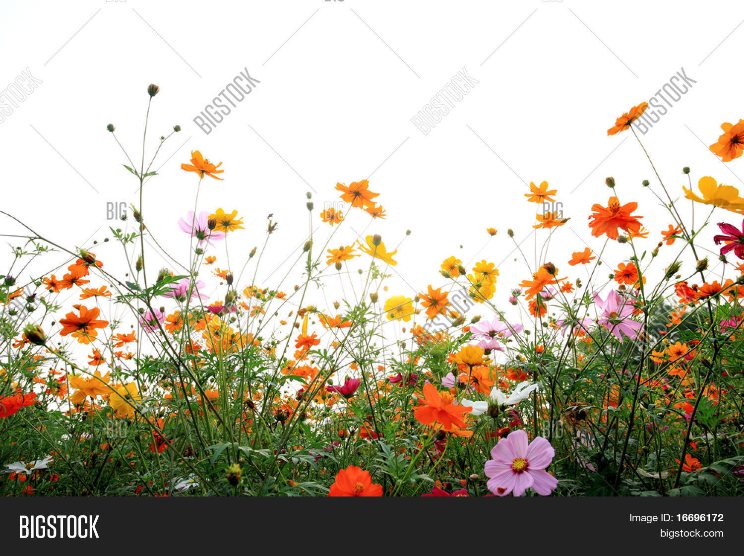 colorful daisies in grass field with white background ...