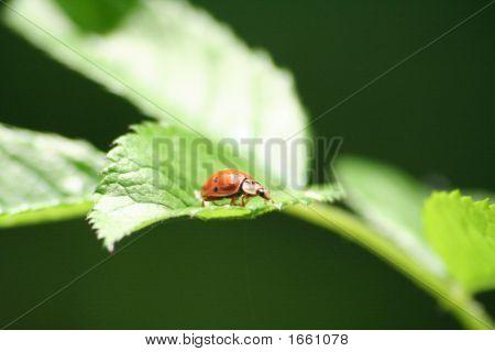 Labybug