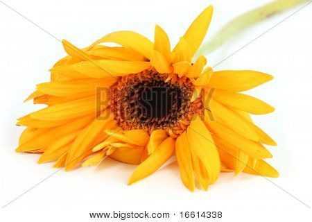 Macro of a wilting flower isolated on white
