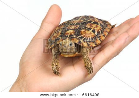 Isolated turtle in human hand