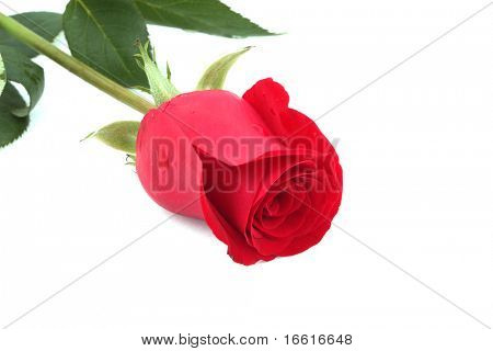 a single long stem red rose