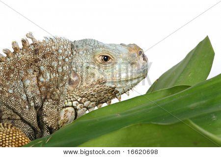 close up head shot of an iguana