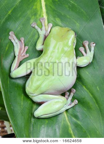 a photo of green frog sitting on leaf