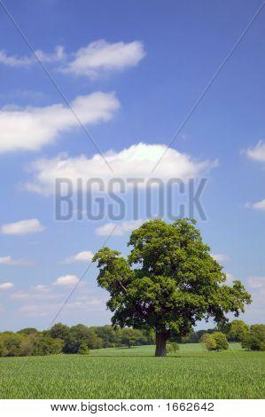 Árbol del roble en un campo
