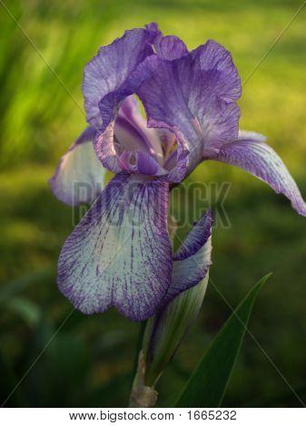 Light Purple Iris & Bud, Softly Back Lit