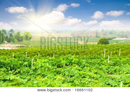Vineyard in Thailand under the sunlight