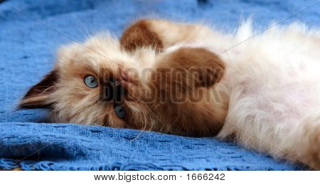 Kitten Lying On Back