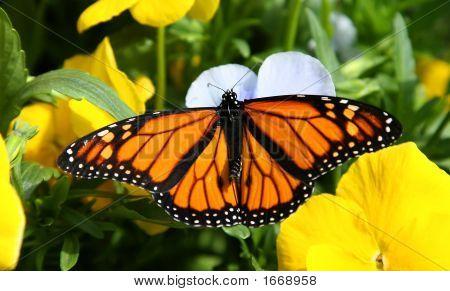 Monarch Butterfly In Flower Garden.