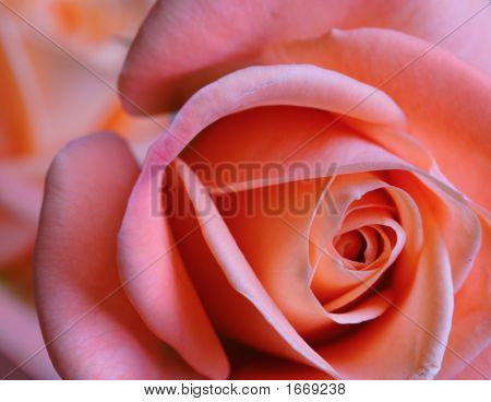 Close To A Rose