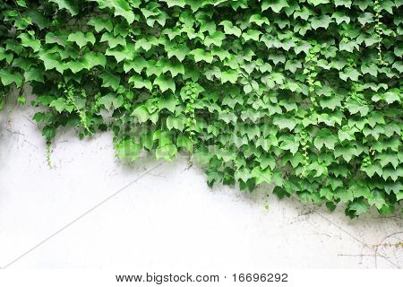 the closeup of Lush ivy covered a wall