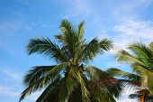 picture of chloroplast  - an image of coconut tree - JPG