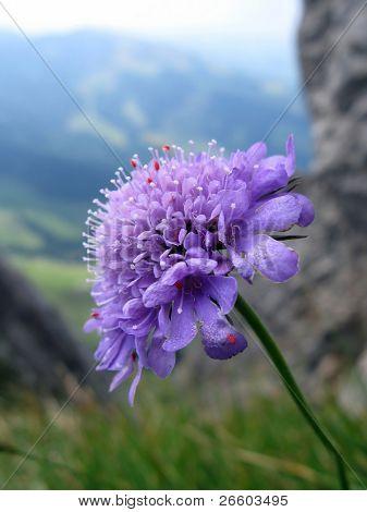 Scabiosa wild flower contra vista alpina