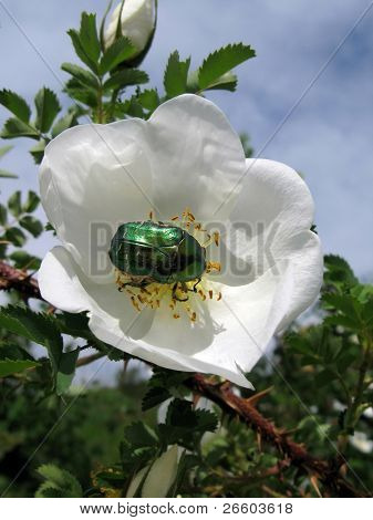 Green shiny beetle on a wild rose flower