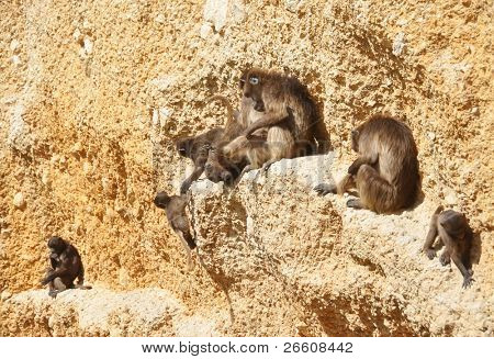 Gelada baboons on a rock