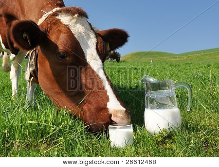 Cow and jug of milk. Emmental region, Switzerland