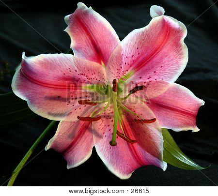 Hawaiian Lily