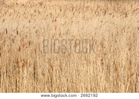 Reed Bed Background