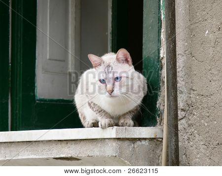 cat by azure eye  versteckt on the window