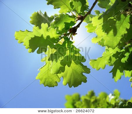 background of green oak leaves