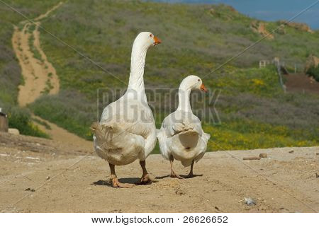 two white geese go away looking back