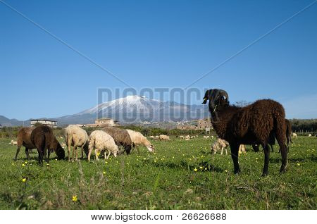 flock of sheep with black ram, on background volcano Etna, Italy