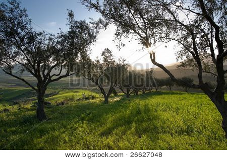 the sun is going down between the branches of an olive grove