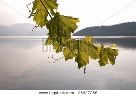 leaves of grapevine on background misty of the lake at the early morning