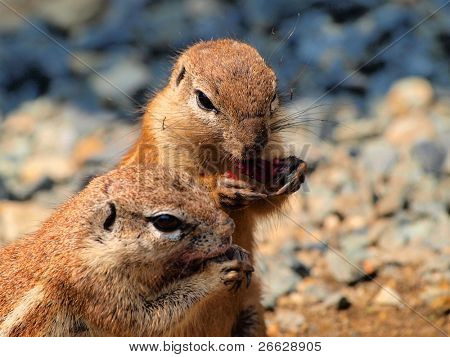 A pair of Ground squirrels(Xerus inaurus) eating