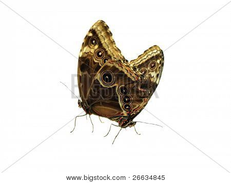 Two exotic butterflies copulating