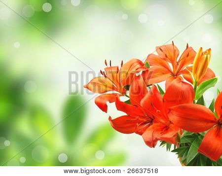 Orange lily on blur green background