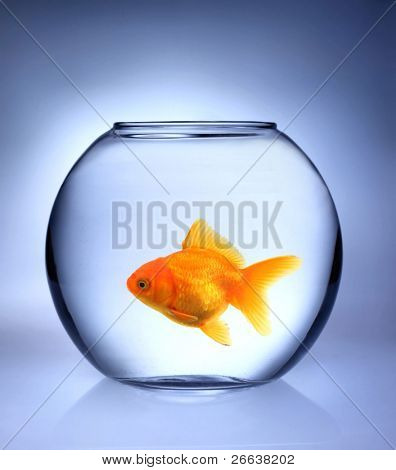 GOlden fish in bowl aquarium